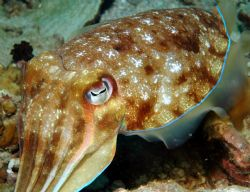 Cuttle Fish by Dave Reid